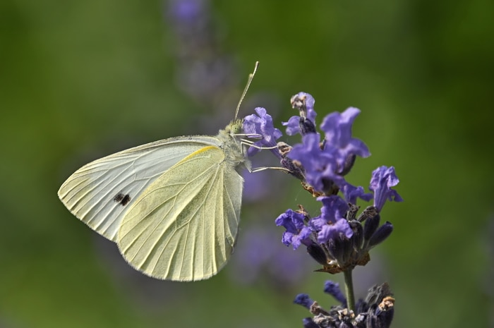 cabbage flower and white butterfly