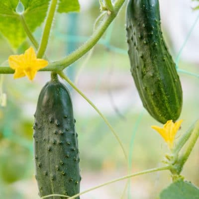 Saving seeds from Cucumbers will save you money