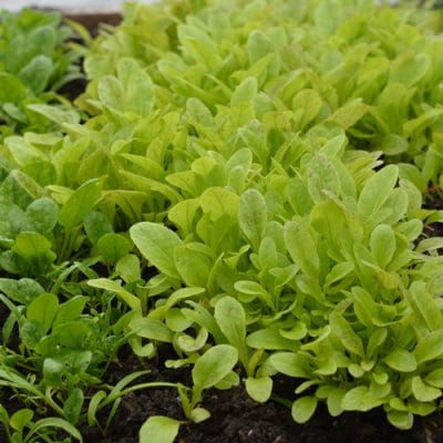 Winter Gardening Without a Greenhouse