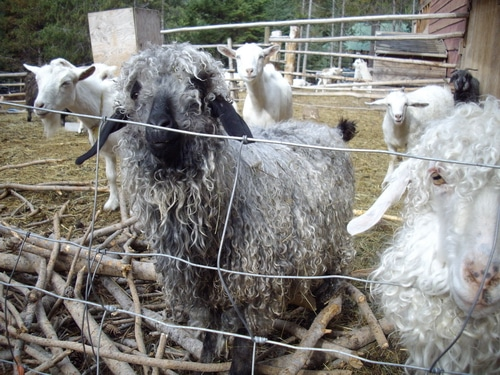 12 Steps to a Successful Shearing Day