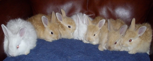 Natural Fawn French Angora fibre - bunnies not included