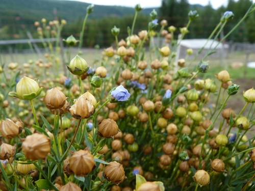 Flax medicine and how to use it