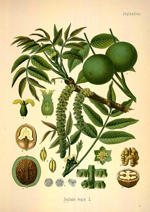 walnut illustration