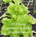 Lettuce in garden bed