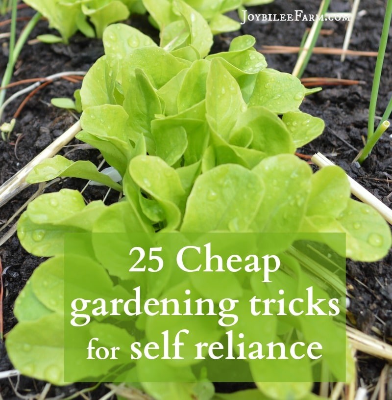 young lettuce plants with the text 25 Cheap Gardening Tricks for Self-Reliance