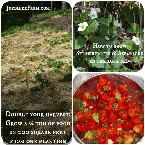 How to grow strawberries and asparagus in the same bed