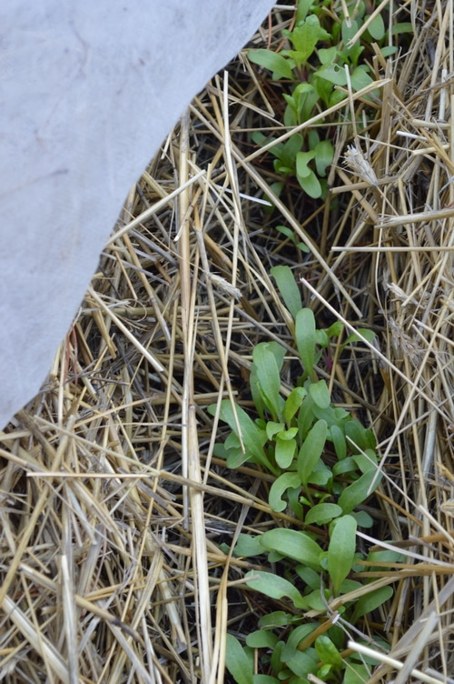baby beet seedlings in an outdoor garden, mulched with hay and with a fabric row cover on one corner