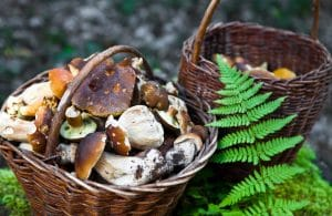 A willow basket full of mushrooms by green fern