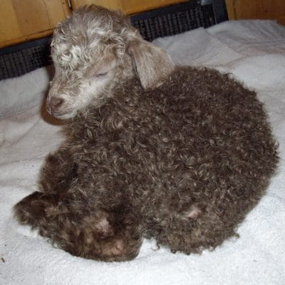 How to Save a Baby Goat with Hypothermia