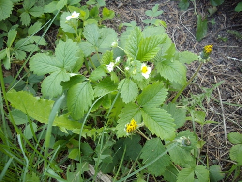 a woodland Wild strawberry plant in the wild