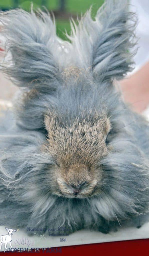 angora rabbit on the homestead. herbal first aid salve
