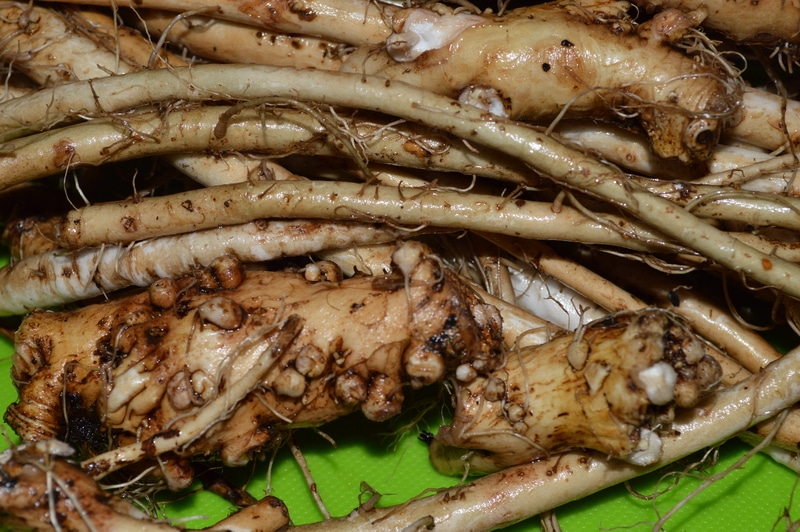 harvested and washed dandelion roots