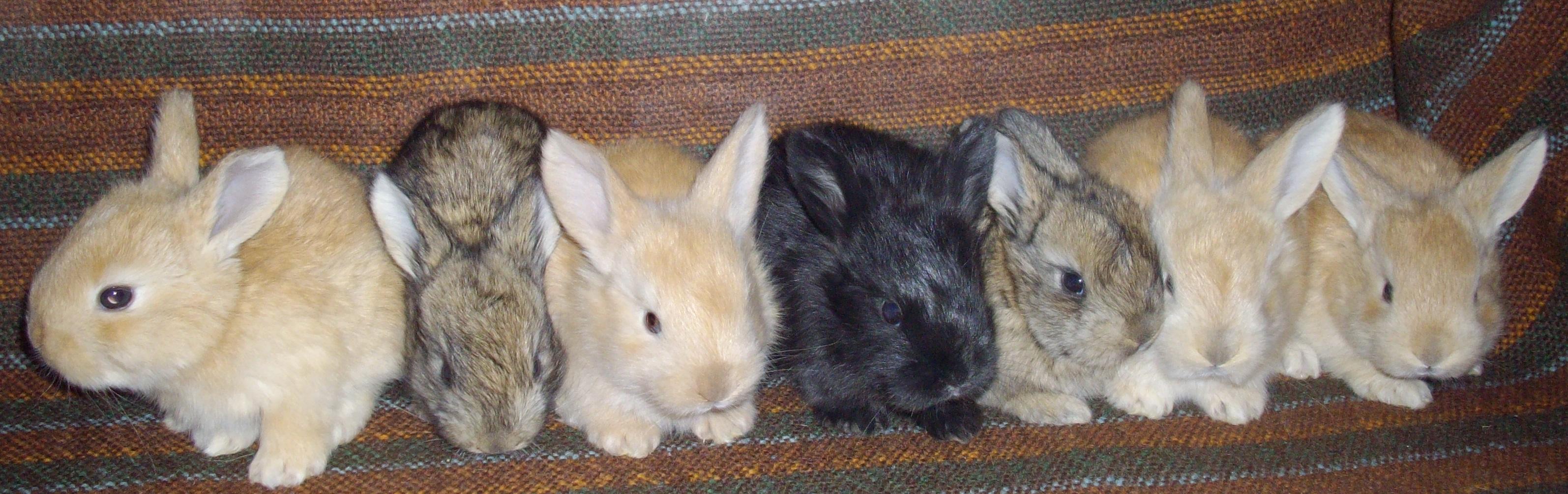 agouti gene - Angora rabbits