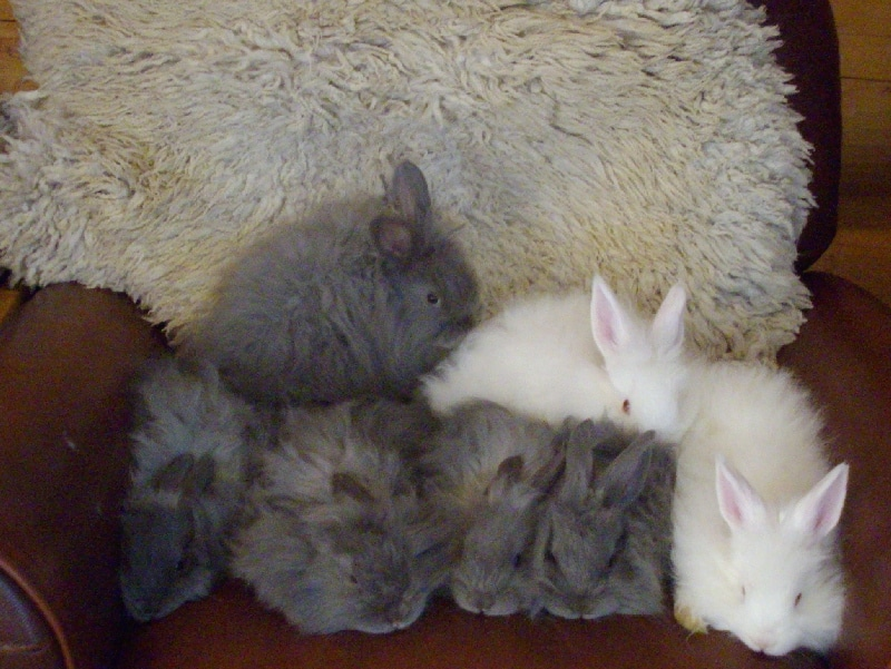 Angora bunnies 6 weeks old