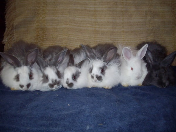 bunny colour genetics - Angora bunnies