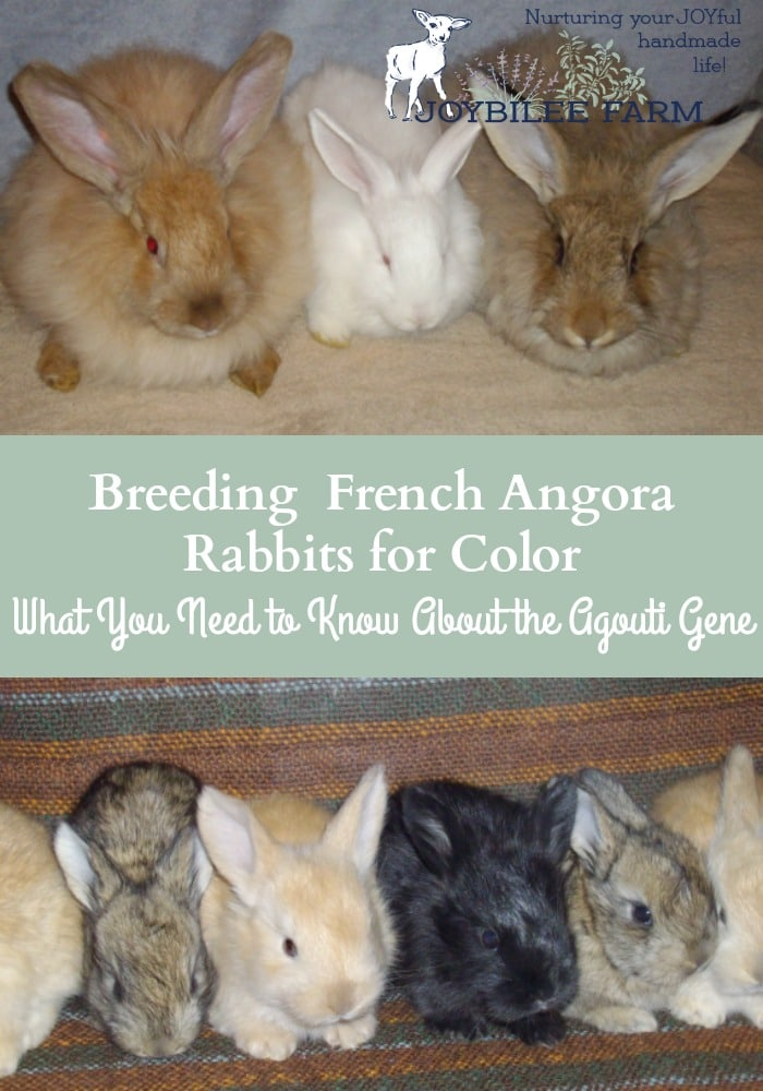 The agouti gene is the dominant gene in angora rabbits.