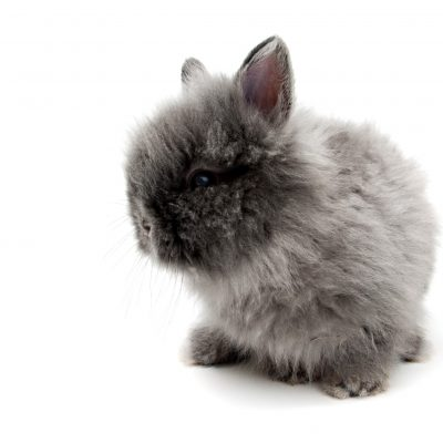 Understanding Angora Bunny Genetics When You Want To Breed for Colour