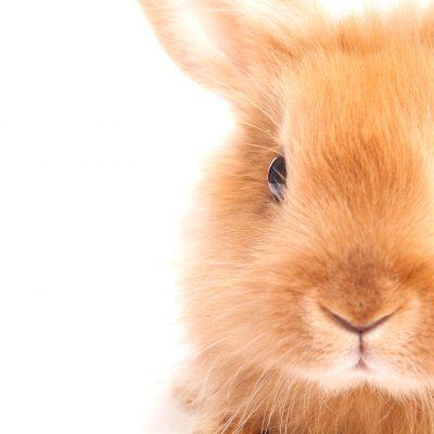 The Agouti Gene in Angora Rabbits and Breeding for Colour