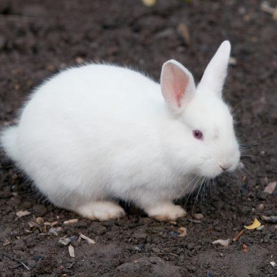 Angora Rabbits 101:  Bunny Colour Genetics Part 3, the Shaded Genes