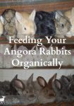 Angora rabbits have two functions on a small homestead. First, they produce luxurious wool which can be spun into yarn and woven or knitted into soft, warm garments. Secondly, they produce off-spring which can be sold as breeding rabbits to other people or used on the homestead for quality meat.