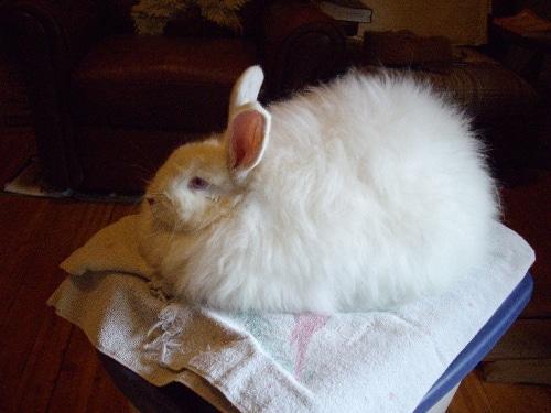 bunny colour genetics - Angora bunny