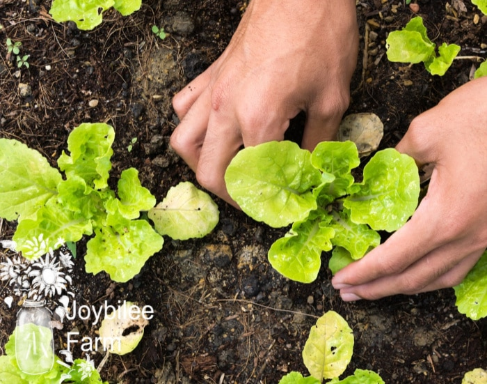 hand transplanting lettuce - Lettuce is one of your allies for winter vegetables, and is also great for early spring, container growing, and indoor growing
