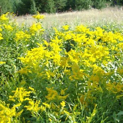 Goldenrod for Natural Health