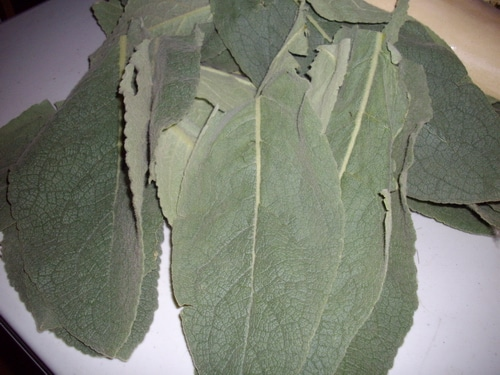 Mullein leaves for tea