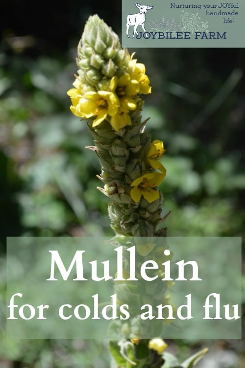 Mullein (Verbascum thapsus) is a medicinal plant of fields and waste places. Its easy to recognize by its soft, fuzzy leaves, and tall flower spike. This medicinal plant is a biennial and grows a soft rosette of succulent, fuzzy leaves in its first year. In its second year, or sometimes during Indian summer, after a cold snap, the low growing Mullein rosette will begin to differentiate into a flower stock. The Mullein flowers form a tall spike, covered in individual yellow flowers that open one at a time over a month or so in mid to late summer. Mullein is an easily identifiable medicinal plant.