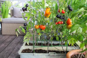 Tomatoes growing in containers on a balcony