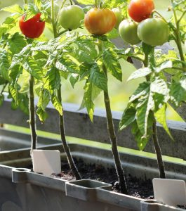 tomatoes growing in a planter on a balcony