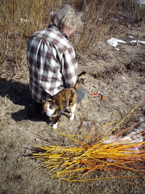 Harvesting willows with patches