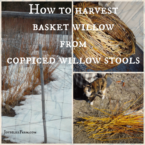 photo collage of basket willows from copppiced willow stools