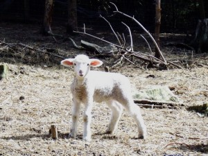 """How losing a lamb to bad air in the barn taught me how to get rid of """"Stinkin' Thinkin'"""""""