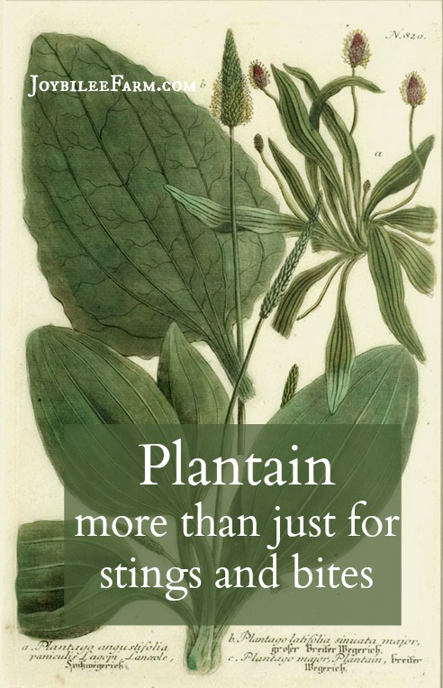 """Broad Leaf Plantain (Plantago major) grows in disturbed areas such as lawns, gardens, roadsides, ditches, and on the sides of creeks and streams. It was brought to North America by the puritan settlers and was called """"Whiteman's footprint"""" by the First Nations due to its prevalence near settlements."""