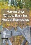 Harvesting Willow Bark for Herbal Remedies