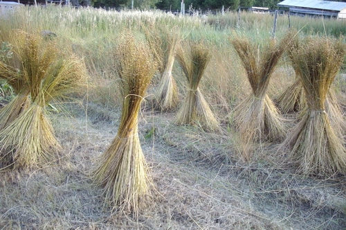 How to harvest linen flax