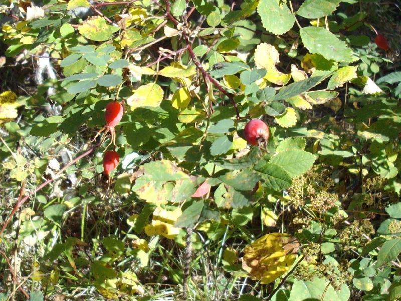 Rose Hips on a rose bush