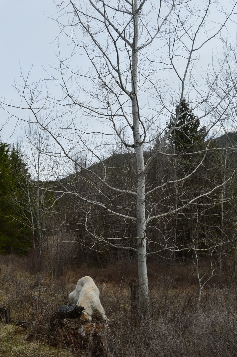 When your fingers are sticky from picking the spring buds of balsam poplar or cottonwood, look for the Trembling Aspens.