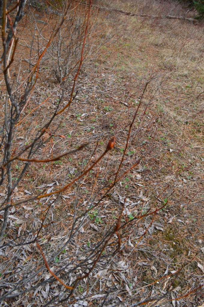 young buds on cottonwood bushes in early spring