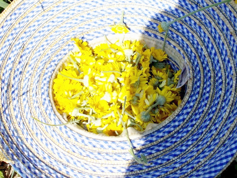 yellow calendula herbs in a straw hat. Make herb infused oils from your garden and build your homestead apothecary
