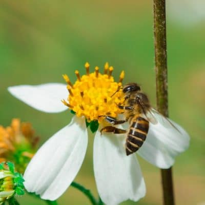 Bidens Can Help Fight Infections and Viruses: Get to Know Bidens