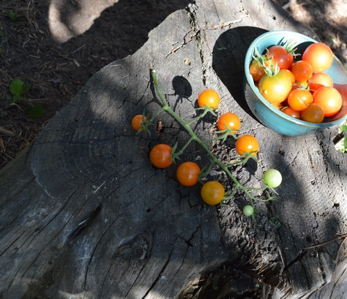 Fresh cherry tomatoes in a blue bowl and some on the vine