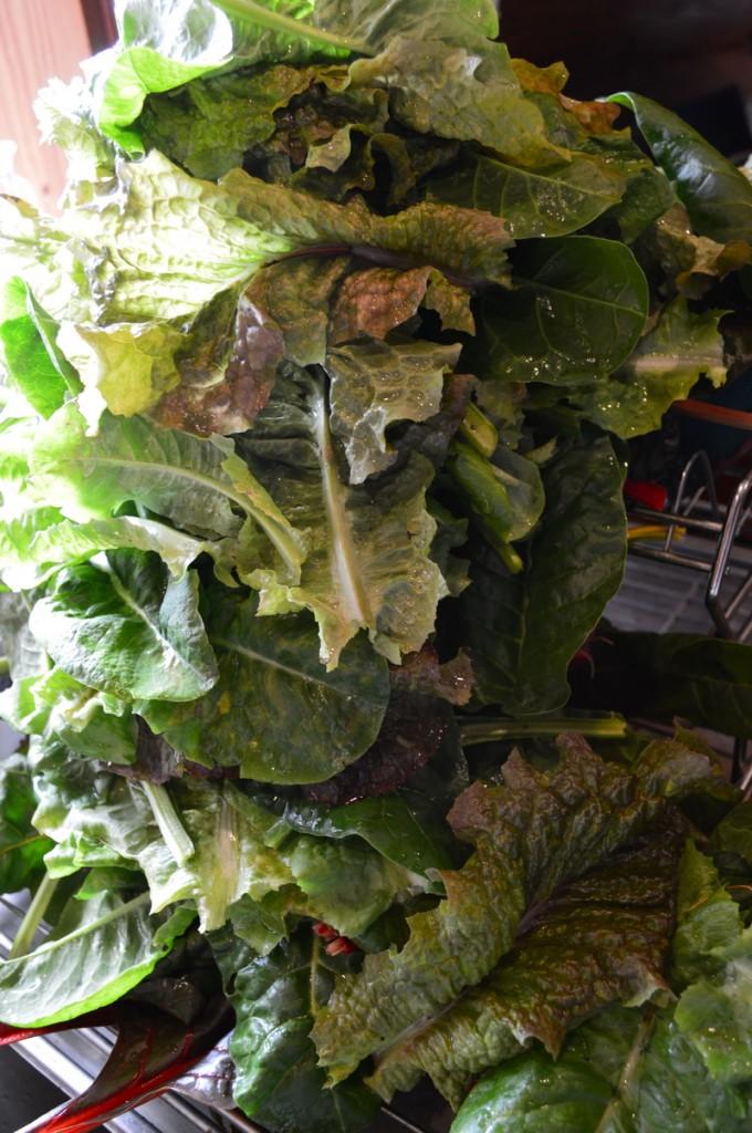 washed fresh lettuce ready for dehydrating into green powder.