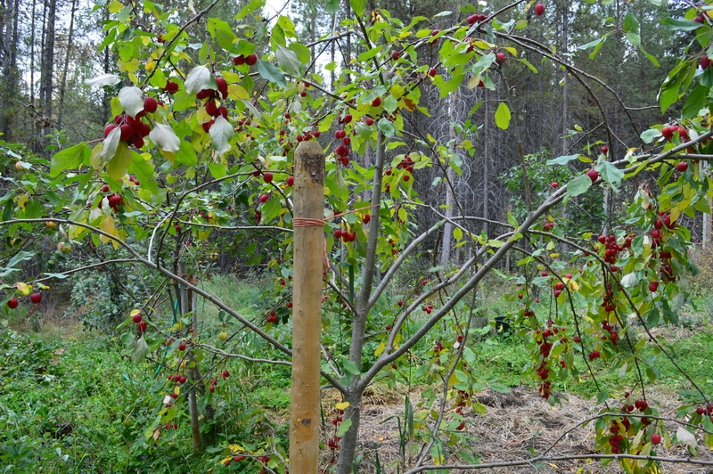 crab apple trees in the garden