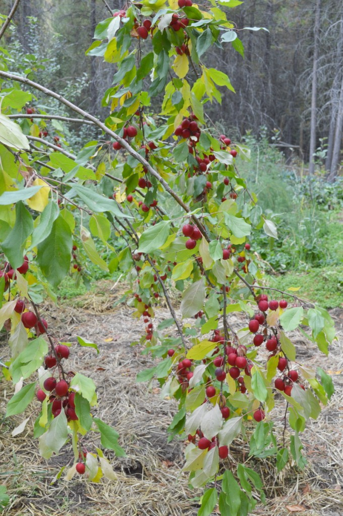 crab apples ready to harvest