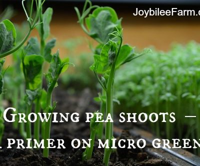 Growing pea shoots indoors in winter – A primer on micro greens