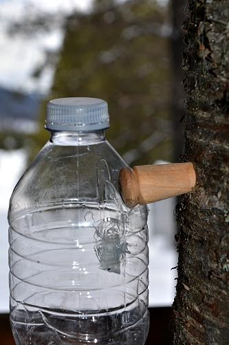 Tap the spile into the birch tree