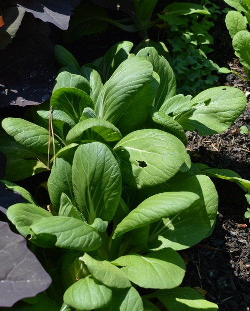bok choy an easy to grow vegetable