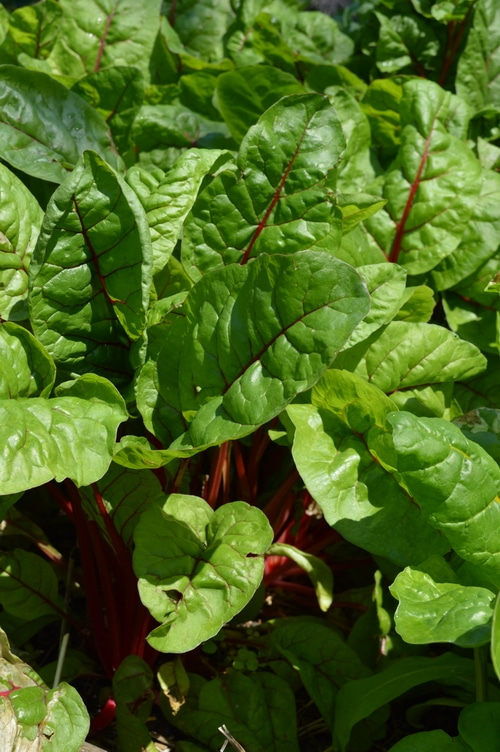 young red chard